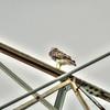 Red-tailed Hawk,Clwtr,Fl-- 2018-08-28-8280008