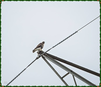 _C170102_Red-tailed hawk