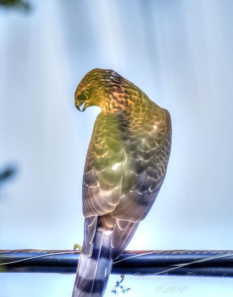 Red-tailed Hawk (Buteo jamaicensis),Clwtr,Fl-- 2018-08-18-8180125_yesterfeller,light adj -10fsadj