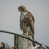 2011-04-24_IMG_1223_red-tailed hawk