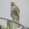 2011-04-24_IMG_1240_red-tailed hawk