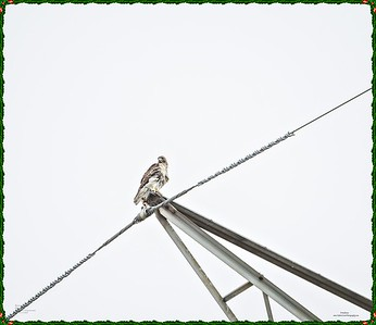 _C170140_Red-tailed hawk