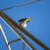 Red-tailed Hawk_2017-11-17-178705