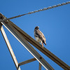 Red-tailed Hawk_2017-11-17-178698