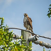 2011-04-24_IMG_1200_red-tailed hawk