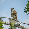 2011-04-24_IMG_1203_red-tailed hawk