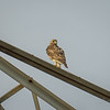 Red Tailed Hawk,2018-07-08,around the house,amfull-
