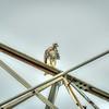 Red-tailed Hawk,Clwtr Fl-- 2018-08-14--8140007