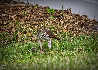 coopers hawk 2021-01-11  by