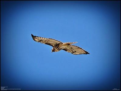 P9260169_Hawk on move