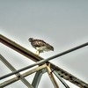 Red-tailed Hawk,Clwtr,Fl-- 2018-08-28-8280006