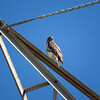 Red-tailed Hawk_2017-11-17-178700