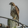 2011-04-24_IMG_1233_red-tailed hawk