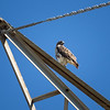 Red-tailed Hawk_2017-11-17-178713