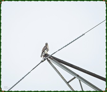 _C170182_Red-tailed hawk