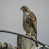 2011-04-24_IMG_1231_red-tailed hawk