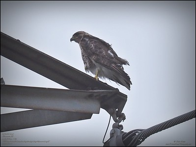 P7110004_ Red-tailed hawk