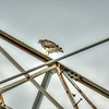 Red-tailed Hawk,Clwtr,Fl-- 2018-08-28-8280005_yesterfeller,light adj -10