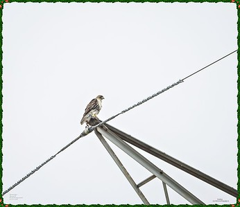 _C170131_Red-tailed hawk