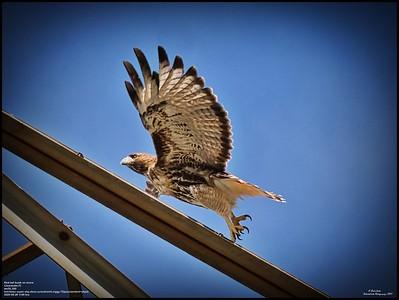 P9260168_Hawk on move