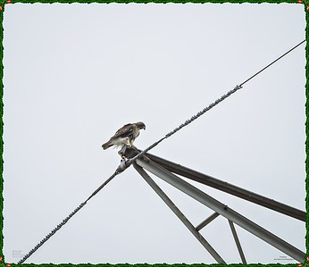 _C170107_Red-tailed hawk