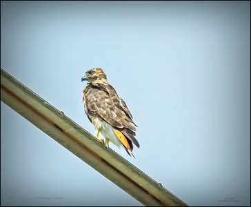 2020-08-06...Red-tailed Hawk...around the house