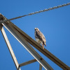 Red-tailed Hawk_2017-11-17-178702