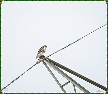 _C170122_Red-tailed hawk