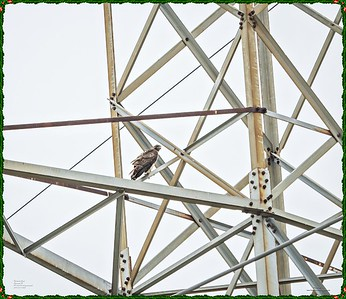 _C170091_Red-tailed hawk