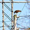 Red tailed hawk..Clearwater,Florida...Oct.2, 2011