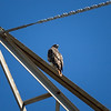 Red-tailed Hawk_2017-11-17-178688