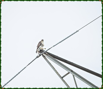 _C170186_Red-tailed hawk