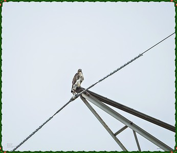 _C170189_Red-tailed hawk