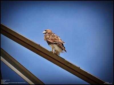P9260167_Hawk on move