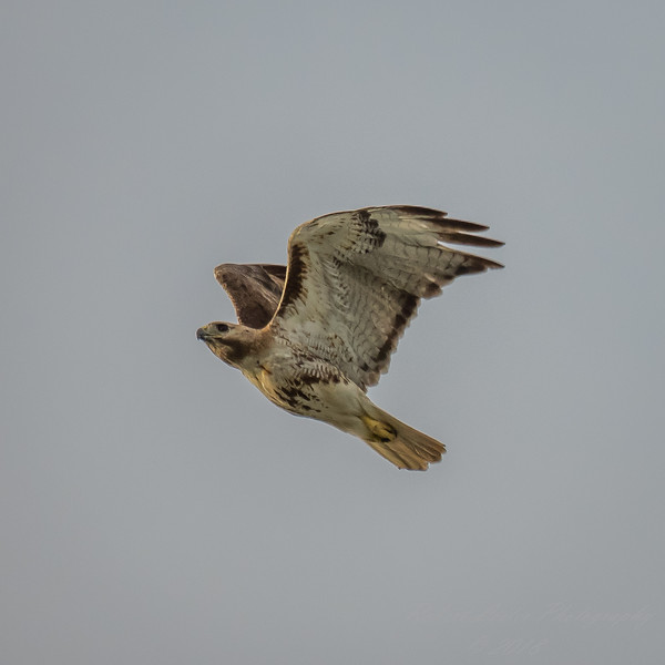 Red Tailed Hawk,2018-07-08,around the house,amfull--13