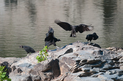 The young turkey vultures were bouncing about and jumping from rock to rock... It was if they were playing...