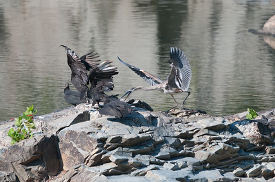 Their playings seemed to have upset the heron because it flew over and started nipping at the juvenile vultures.