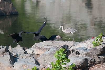 As the heron kept trying to intimidate and nips at the vultures they kept coming back over and over...