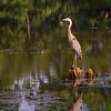 Great blue heron in Newells Run basin btwn OH 7, Mud Lane, & Newells Run Road, just before the stream empties into Ohio River; shot fr car, across Pat Rodger - bird flew when car door opened