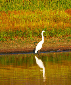 Egret Reflection - Lake Fork, Texas