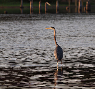 Early Morning Blue Heron - Lake Fork, Texas