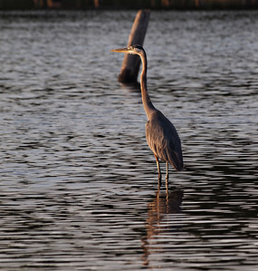 Blue Heron on the shore of Lake Fork, Texas in the early morning.  Order Code: A29