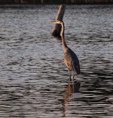 Herons and Egrets