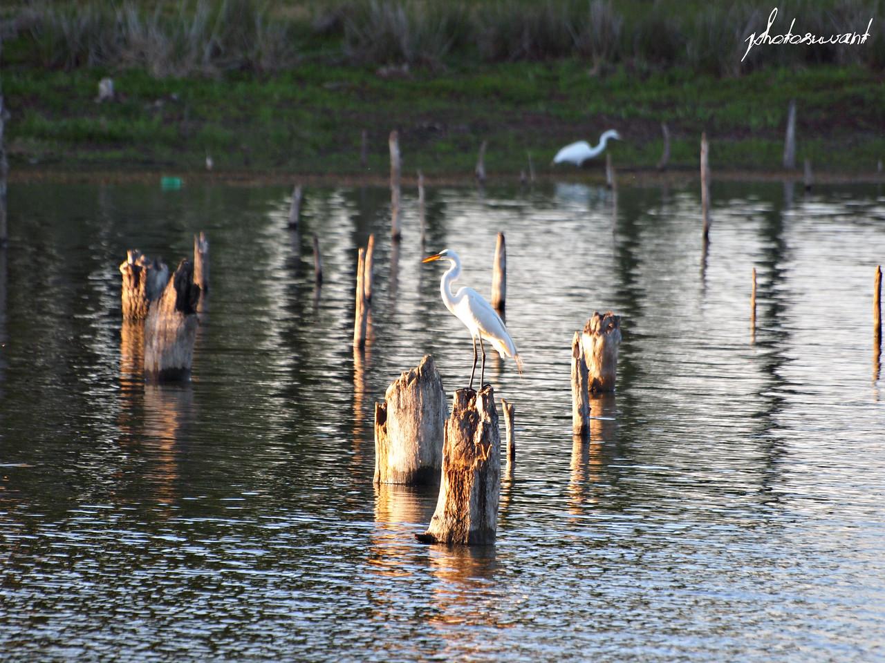 Lone Great White Egret - Lake Fork, Texas  Order Code: B49