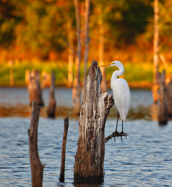 On a Limb - Great White Egret - Lake Fork, Texas  Order Code: A4