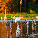 Herons and Egrets : Herons and egrets are some our favorite birds to photograph.  They are so elegant and picturesque that we just can't resist snapping shots of them.