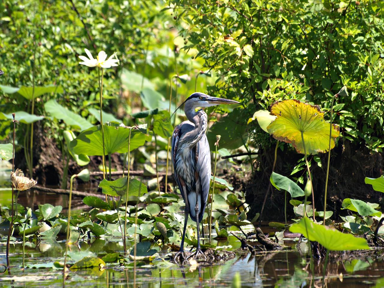Blue Heron on Caddo Lake, Texas