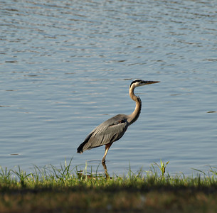 Walking the Coast - Blue Heron - Lake Fork, Texas