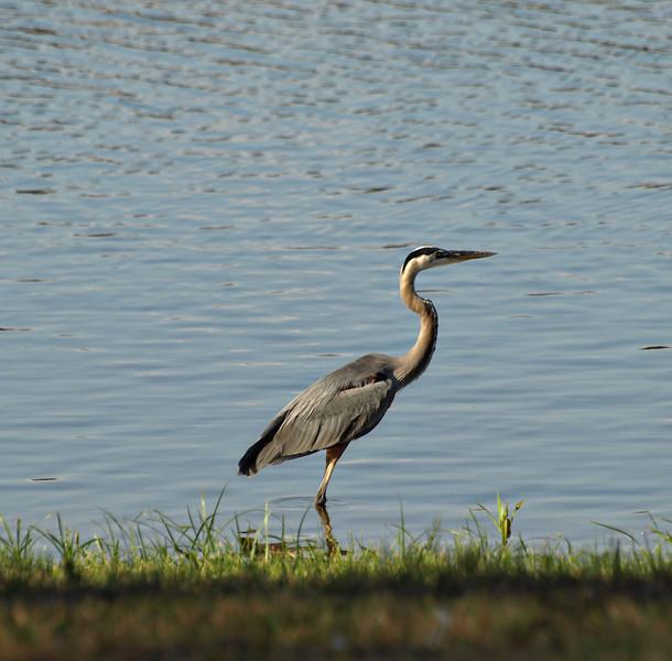 Walking the Coast - Blue Heron - Lake Fork, Texas