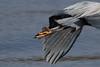 Great Blue Heron in Juanita Park, Kirkland, WA